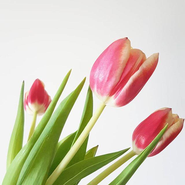 Guten Morgen. Leider ist die Tulpenzeit jetzt dann vorbei. Wenn es nach mir gehen würde, dann wären hier ständig welche auf dem Tisch. Glücklicherweise werden die Tulpen direkt von den Pfingstrosen abgelöst. 😍 Hier einfach große #Blumenliebe. Aber eigentlich wollte ich euch nur einen schönen Tag wünschen. Macht das beste daraus, habt schöne Momente und Erlebnisse und lasst euch nicht ärgern. Und vergesst das Lächeln nicht. 😊💕 . . #happymoments #blumenliebe #blumen #flowers #tulpen #diepetzi #gutenmorgen #happyme