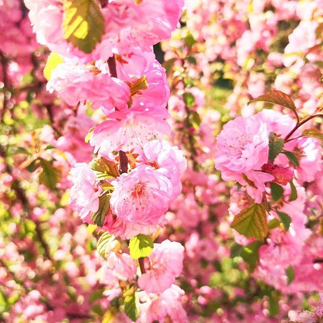 Ich sauge ganz gierig jeden Sonnenstrahl auf, den ich irgendwie bekommen kann. Diese Jahreszeit habe ich so sehnsüchtig erwartet und kann gar nicht genug bekommen von den Farben, Gerüchen und dieser besonderen Stimmung. Absolut #teamfrühling. 🌷☀️🍓 #springvibes #springlove #farbexplosion