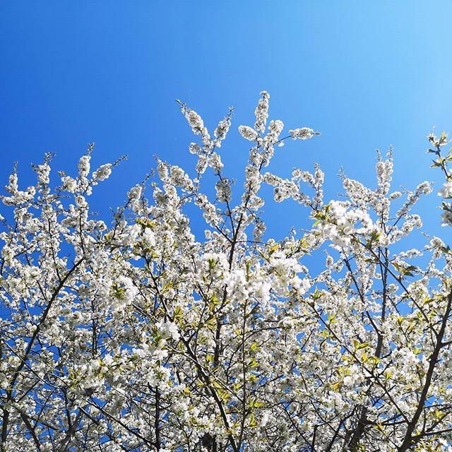Wie schön kann es eigentlich sein? 😍♥️ Perfektes Wetter an einem tollen Wochenende. Hier geht es jetzt gleich auf einen Geburtstag und ich wünsche euch einen wunderschönen Abend. Fun Fact: Der Kirschbaum steht daheim im Garten und hat bald Geburtstag. Den gab's nämlich extra für mich. Damals, vor vielen Jahren. 😂🍒🌸 #diepetzi #kirschblüten